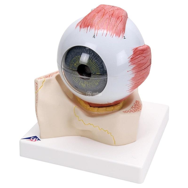Modello di occhio umano