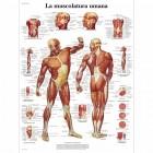 SC1002 - Poster muscolatura