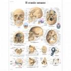 SC1005 - Poster del cranio