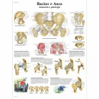 SC1009 - Poster bacino e anca